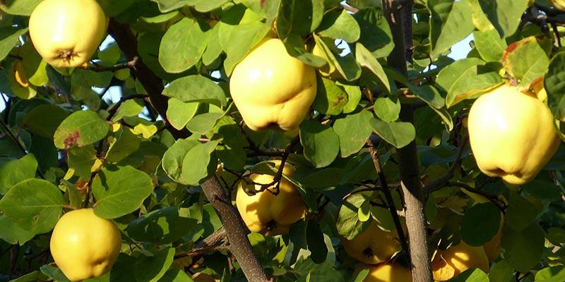 Фото плодов айвы