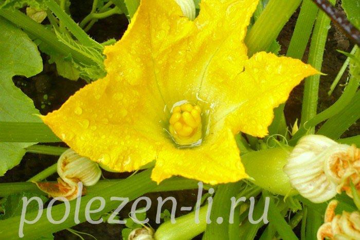 Фото кабачок цветущий на грядке
