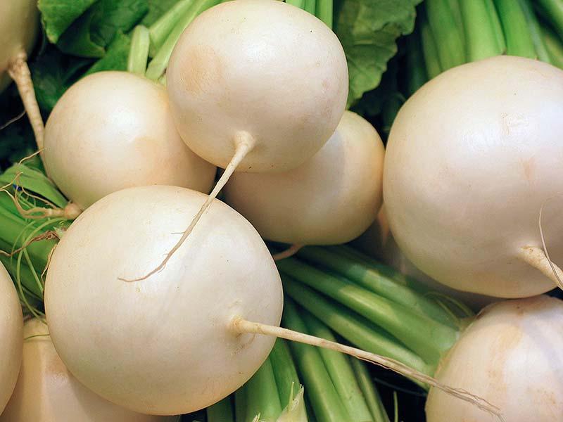 Фото редьки белой корнеплоды со стеблем