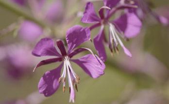 Цветок Иван-чая