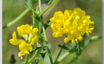 Люцерна желтая цветки