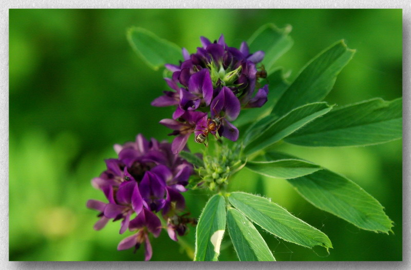 Люцерна фиолет