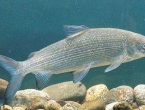 Сиг рыба живая
