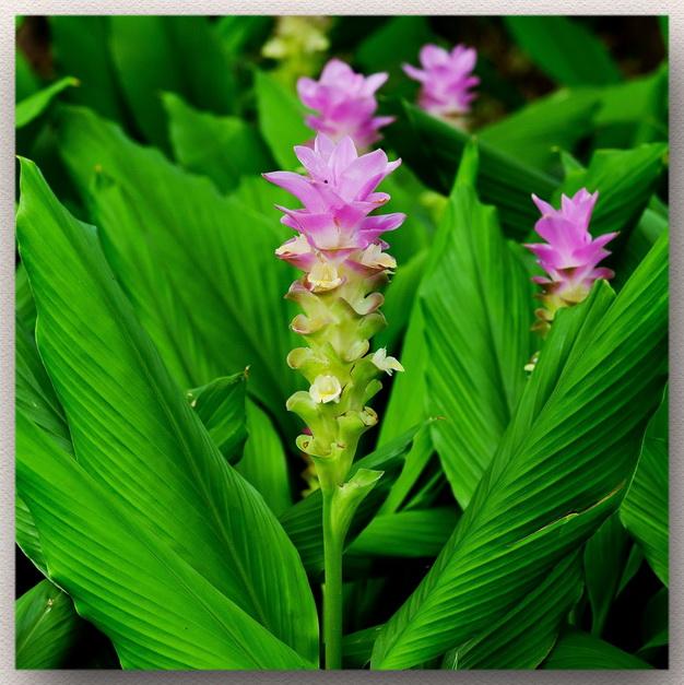 цветение свежей куркумы