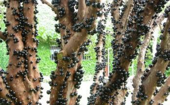 Жаботикаба дерево